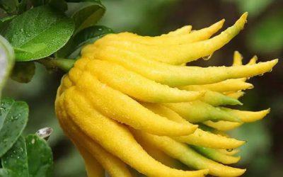 Bergamot Drying Machine | Bergamot, Oranges, Lemon & Citrus Drying