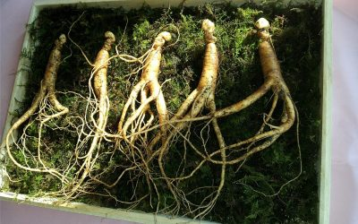 Ginseng Drying Machine | Polygonatum, Claw Ginseng or Tiger Ginger